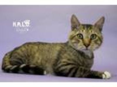 Adopt King Ezekiel a Domestic Shorthair / Mixed (short coat) cat in Sebastian