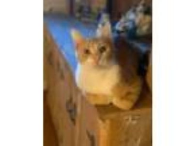 Adopt Chevelle a Domestic Short Hair