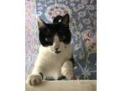 Adopt Penny a Black & White or Tuxedo American Shorthair cat in Los Angeles