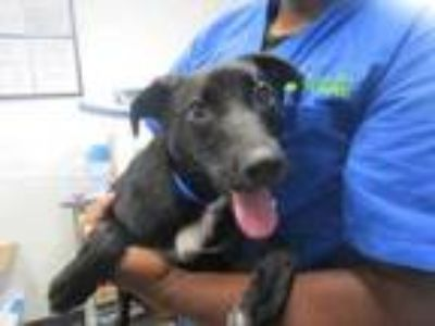 Adopt Lacey a Black Labrador Retriever / Terrier (Unknown Type