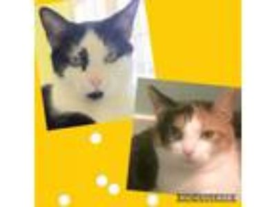 Adopt Chessie and Checkers a Domestic Short Hair