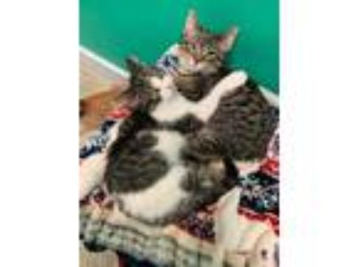 Adopt Costello a Brown or Chocolate Domestic Shorthair / Domestic Shorthair /