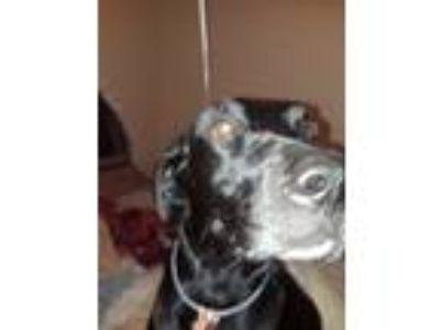 Adopt Luna a Black Labrador Retriever / Mixed dog in Mesquite, TX (23418964)