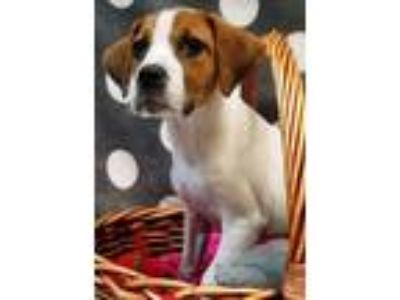 Adopt Lola a Tricolor (Tan/Brown & Black & White) Beagle / Mixed dog in Decatur