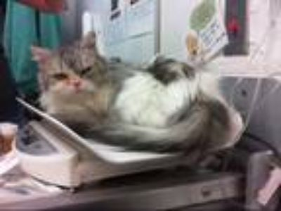Adopt MAMMA SMOOSH a Domestic Short Hair, Persian