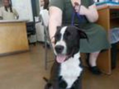 Adopt a Black - with White American Pit Bull Terrier / Mixed dog in Temple