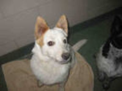 Adopt INDY a White Australian Cattle Dog / Mixed dog in Santa Fe, NM (25781500)