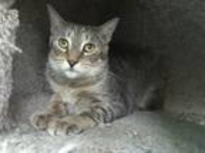 Adopt Gunther a Brown Tabby Domestic Shorthair / Mixed cat in Margate