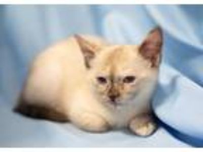 Adopt Margery a Cream or Ivory (Mostly) Siamese / Mixed (short coat) cat in