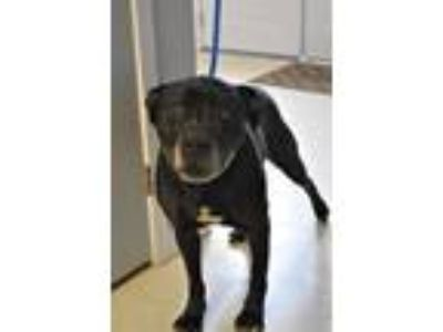 Adopt Duckie a Labrador Retriever / Pit Bull Terrier / Mixed dog in Fall River
