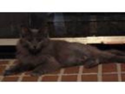 Adopt Rani a Gray or Blue Domestic Longhair (long coat) cat in Speedway
