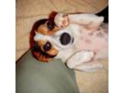 Adopt Carob (TN) a White - with Black Rat Terrier / Mixed dog in Knoxville