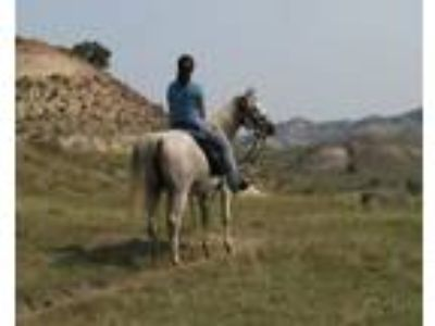 Versatile Well Trained Purebred Arabian Mare Available