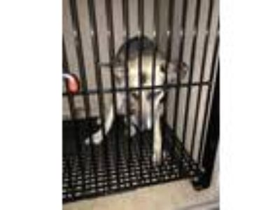 Adopt Cherokee a German Shepherd Dog