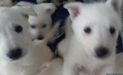 Pure white line male german shepherd puppies