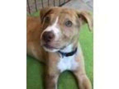 Adopt Barney a Merle Catahoula Leopard Dog / Labrador Retriever / Mixed dog in