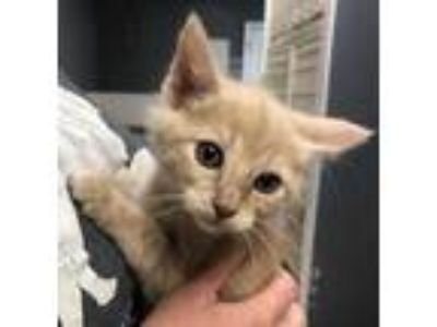 Adopt Grasshopper KITTEN SHOWER ATTENDEE a Tan or Fawn Domestic Mediumhair /