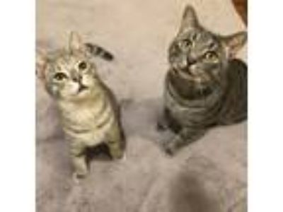 Adopt Elmer and Fudd a Gray, Blue or Silver Tabby American Shorthair / Mixed
