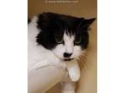 Adopt Scooter a Black & White or Tuxedo Domestic Mediumhair (long coat) cat in