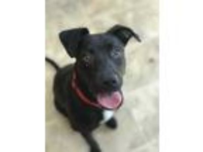 Adopt Delilah a Black Retriever (Unknown Type) / Mixed dog in Chico