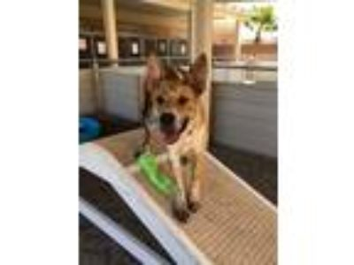 Adopt Thor a Tricolor (Tan/Brown & Black & White) Dutch Shepherd / Cattle Dog /