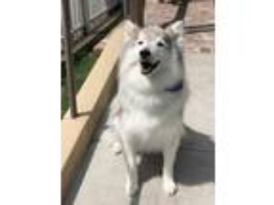 Adopt Jeff a Gray/Silver/Salt & Pepper - with White Husky / Collie / Mixed dog