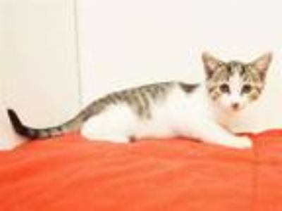 Adopt *MADONNA a Brown Tabby Domestic Shorthair / Mixed (short coat) cat in