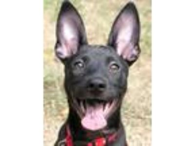 Adopt Betty a Black Labrador Retriever / Shepherd (Unknown Type) / Mixed dog in