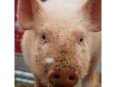 Adopt Leyla a Pig (Farm) farm-type animal in Asheville, NC (24547175)