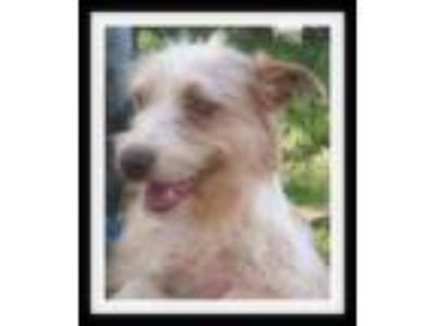 Adopt SASSY a Terrier