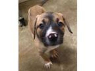 Adopt Kristoff a Brown/Chocolate Boxer / Mixed dog in Waxahachie, TX (25153727)