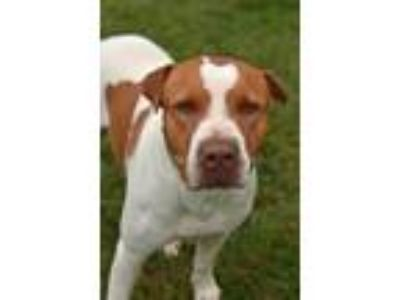 Adopt 10313498 MARCO a White - with Red, Golden, Orange or Chestnut Terrier