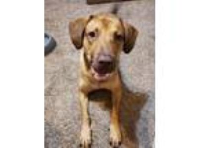 Adopt Cisco Catfish a Chesapeake Bay Retriever, Mixed Breed