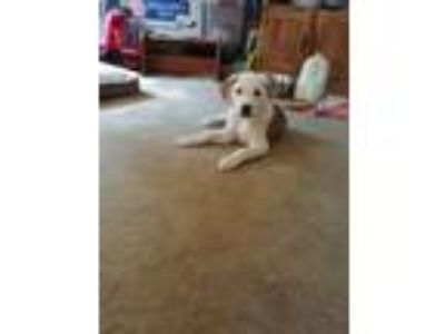 Adopt Kirby a Great Pyrenees, Australian Cattle Dog / Blue Heeler