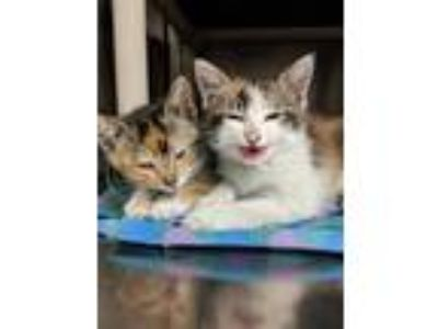 Adopt Tiger a White Domestic Shorthair / Domestic Shorthair / Mixed cat in