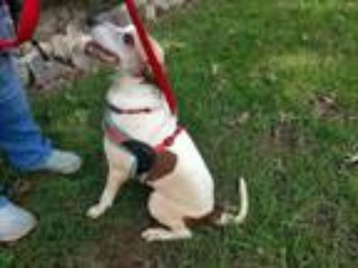 Adopt Brummy a Jack Russell Terrier