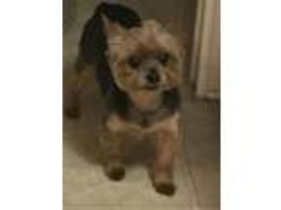 Adopt Sir a Yorkshire Terrier