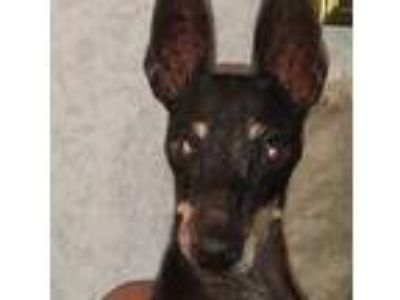 Adopt Jaimie a Black - with Tan, Yellow or Fawn Miniature Pinscher / Mixed dog