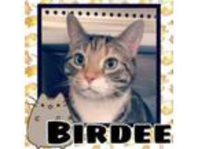 Adopt Birdee a Domestic Short Hair