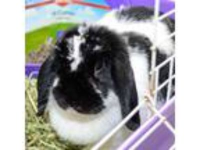Adopt Fuji a White Mini Lop / Other/Unknown / Mixed rabbit in Lansing