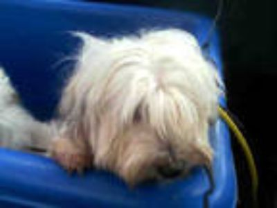 Adopt LOLA a White - with Gray or Silver Havanese / Mixed dog in Dallas
