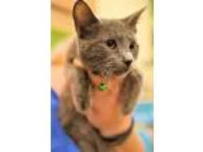 Adopt TASCHA a Gray or Blue Russian Blue / Mixed (short coat) cat in Hemet