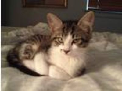 Adopt Shelby a Gray, Blue or Silver Tabby Domestic Shorthair (short coat) cat in
