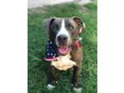 Adopt Stark - Avail 7/20! a Pit Bull Terrier