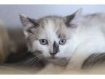 Adopt Lupe a Domestic Short Hair