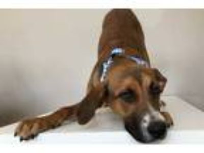 Adopt Lulu a Brown/Chocolate German Shepherd Dog / Mixed dog in Voorhees