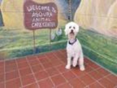 Adopt KATIE a Poodle