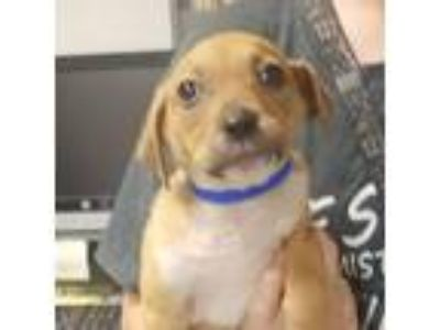 Adopt Barton a Brown/Chocolate Collie / Cattle Dog dog in Columbus