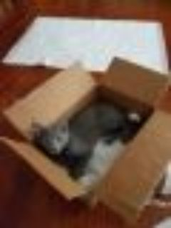 Kevin Russian Blue - Domestic Short Hair Cat