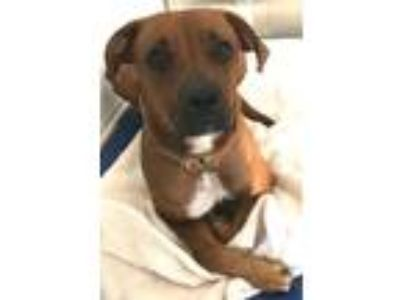 Adopt Claudia a Mastiff / American Pit Bull Terrier / Mixed dog in Pittsburgh
